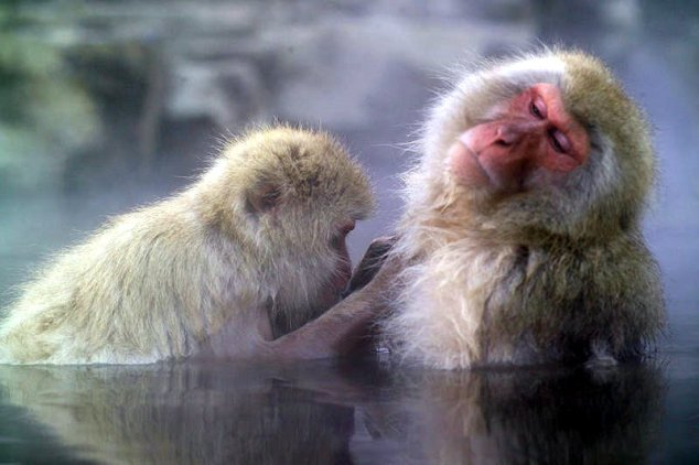 Japanese Macaque in the hot springs at Jigokudani Yaenkoen park