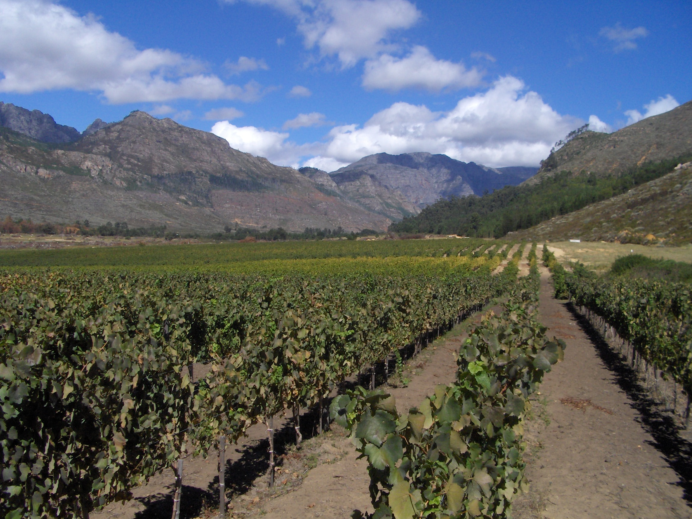 vineyards_in_franshhoek