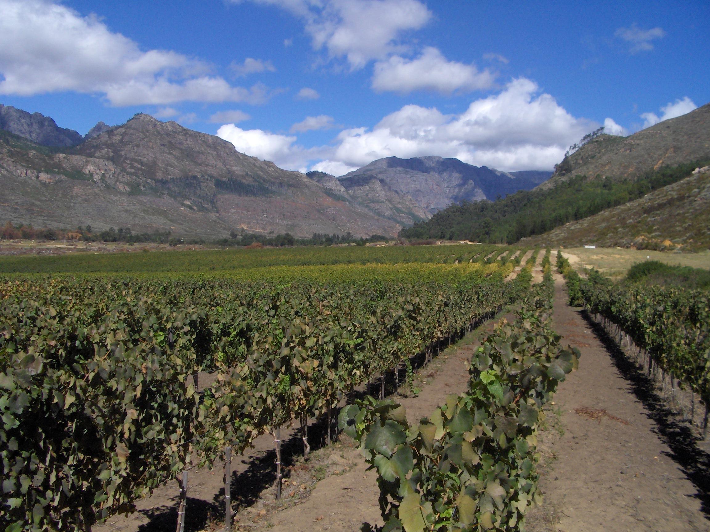vineyards_in_franshhoek