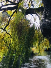 Willows at the park