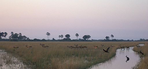 Group-of-Lechwe-at-dawn