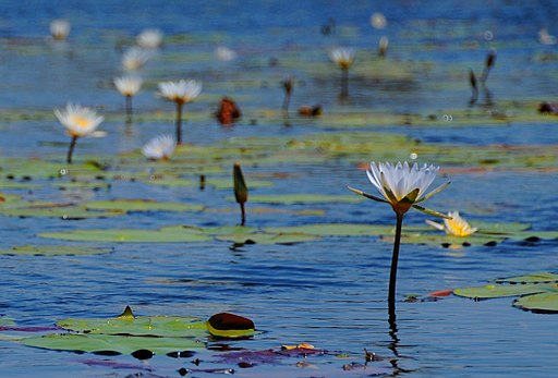 Water_lilies_in_the_Okavango_Delta_-_Botswana_-_panoramio