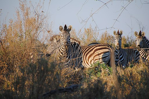 Zebras_in_the_Okavango_Delta_-_Botswana_-_panoramio