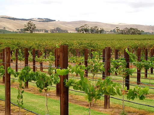 512px-Jacob's_Creek._Vines._Barossa_Valley_SA