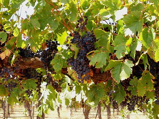 512px-Wine_grapes_in_Barossa_Valley._SA